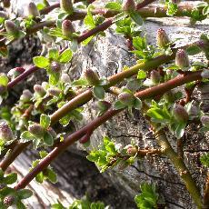 Salix cashmiriana