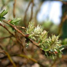 Salix repens  'Voorthuizen'
