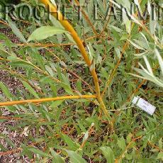 Salix alba var. vitellina