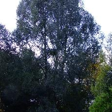 Salix alba  'Drakensburg'