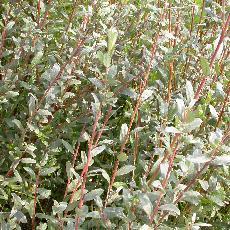 Salix arenaria