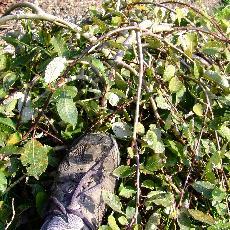Salix caprea  'Repens'
