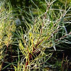 Salix elaeagnos subsp. angustifolia