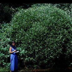 Salix fragilis  'bullata'