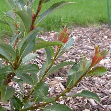 Salix glabra