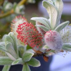Salix helvetica