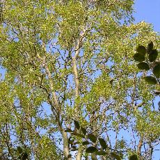 Salix matsudana  'Caradoc'