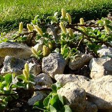 Salix nakamurana  'Yezoalpina'