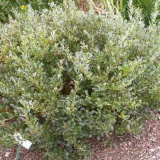 Salix phylicifolia.