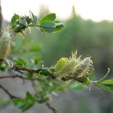 Salix repens  'Boyd's Pendulous'