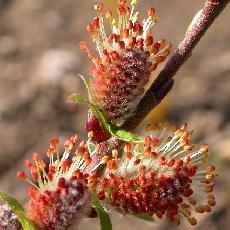 Salix starkeana