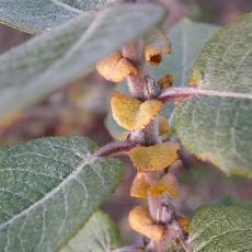 Salix syrticola