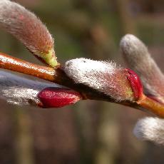 Salix  'Akame'