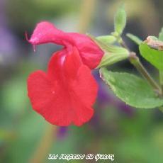 Salvia microphylla var.  neurepia