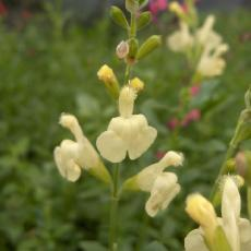 Salvia greggii  'Sungold'