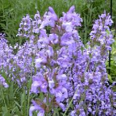 Salvia lavandulifolia