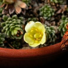 Saxifraga  'Gelber Findling'