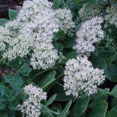 Vivaces for Plante grasse exterieur rustique