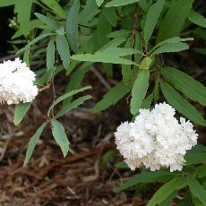 Spiraea cantoniensis  'Flore Pleno'