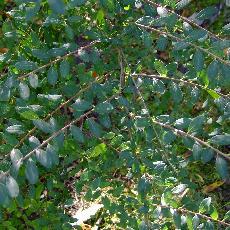Spiraea canescens  'Myrtifolia'