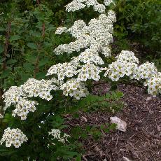 Spiraea chamaedryfolia var. ulmifolia