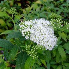 Spiraea japonica  'Albiflora'