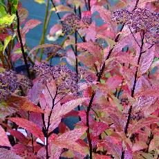 Spiraea japonica  'Country Red'