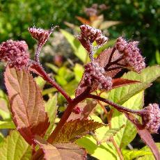 Spiraea japonica  'Froebelli'