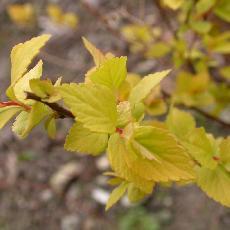 Spiraea japonica  'Glenroy Gold'