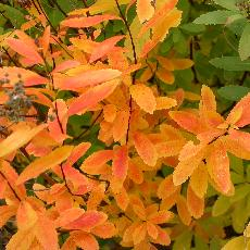 Spiraea latifolia