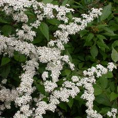 Spiraea nipponica  'June Bride'