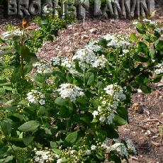 Spiraea nipponica  'Rotundifolia'