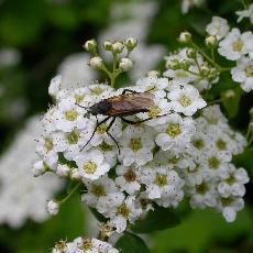 Spiraea wilsonii