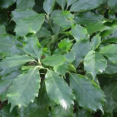 Aucuba japonica  'Dentata'