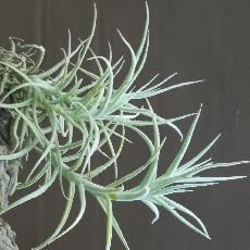 Tillandsia paleacea