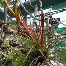 Tillandsia tricolor var. melanocrater