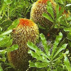 Banksia baueri