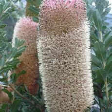Banksia praemorsa  'Wine Form'