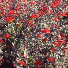 Epilobium californicum  'Western Hills'