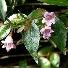 Abelia hybride  'Edward Goucher'