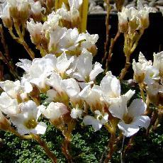 Saxifraga marginata var. coriophylla  'Minor'