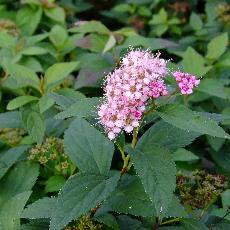 Spiraea japonica  'Manon'