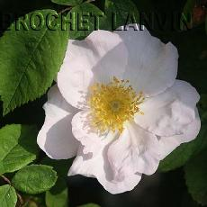 Rosa richardii