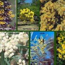 Acacia INFORMATIONS (?A)