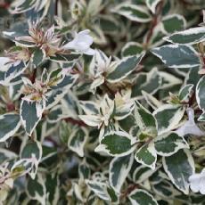 Abelia x grandiflora  'Confettii'