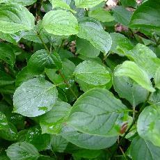 Cornus darvasica