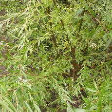 Salix babylonica  'Ratakaka'