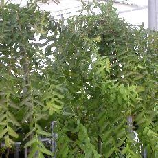 Salix integra  'Pendula'