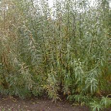 Salix x rubra  'Pyramidalis'
