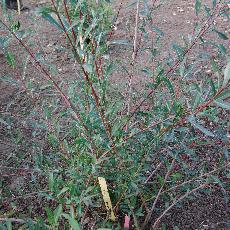 Salix purpurea var. helix
